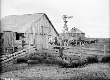 Old photo of Livestock