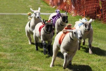 charity sheep race