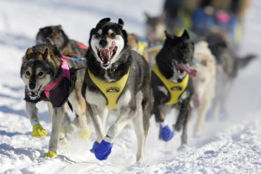 famous dog sled race over animal cruelty allegations