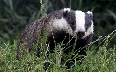 animal rights activists,animal rights demonstrations, badger, badger cull, real faces of animmal rights