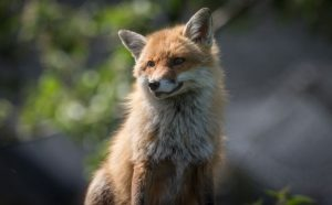 red fox, animal rights, adam henson