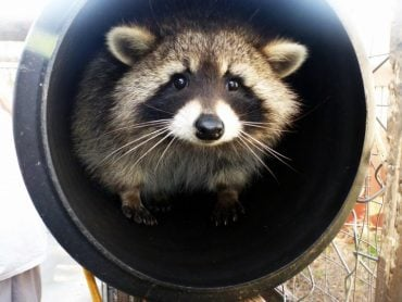 animal rights activists, zoos, racoons, animal rights, animal welfare, deseases. somerset, UK