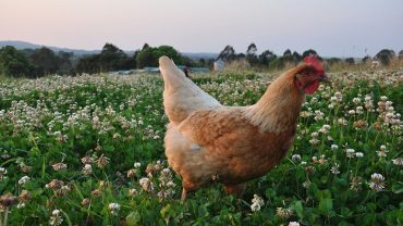 aggs, free range eggs, chicken, PETA , animal rights activists, anima lrights demonstrations