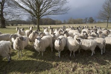 animal rights, animal rights activists, animal welfare, farming, wool industry, UK farming, NFU