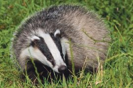 animal rights, RSPCA, badger cull, farmers, animal rights, animal welfare