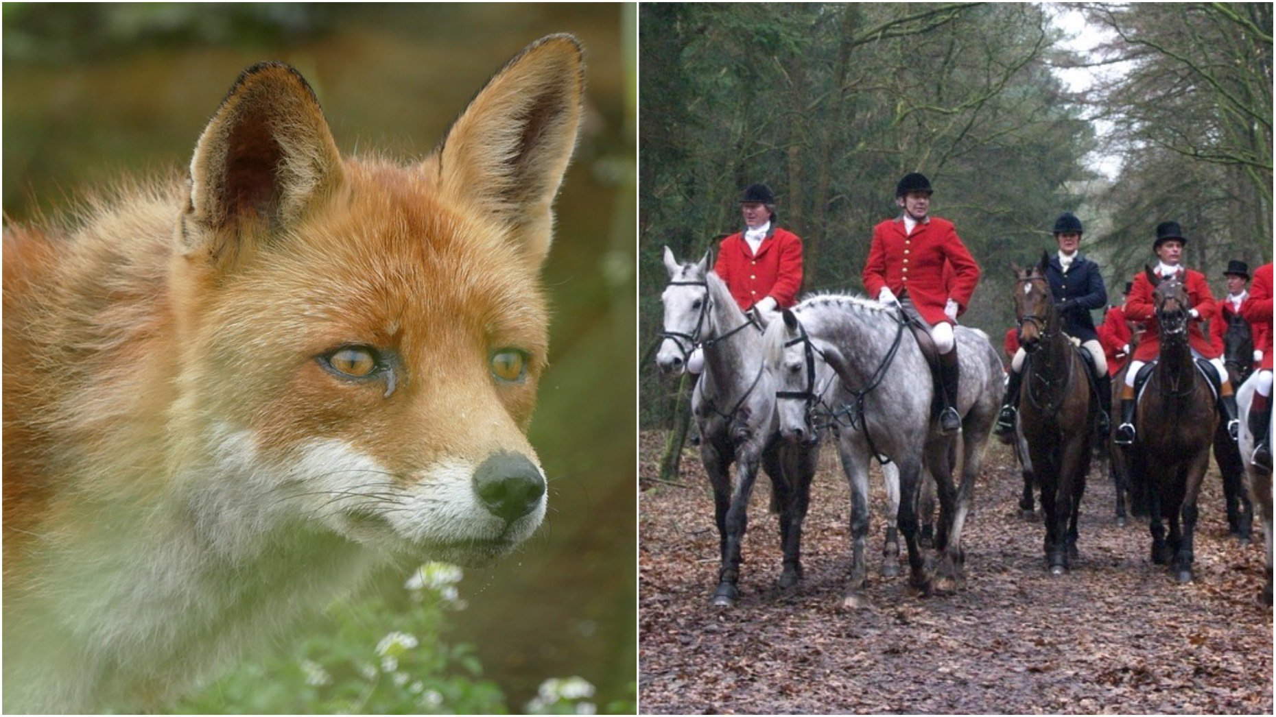 fox hunting essay example Up to 30 dogs and a large group of mounted hunters chase the poor fox for miles, tormenting it all the way the dogs do not attack it all at once and put it out of its misery instead they are trained to disable it, so that it can not escape and then the hunters.