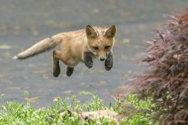 animal rights, animal wefare, animal rights activists, fox, fox cub