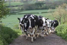 animal rights activists, animal welfare, Dairy UK, MILK,Cow, livestock, PETA