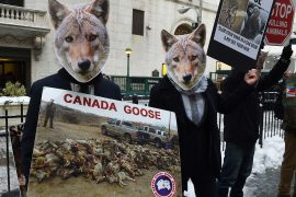 animal rights, animal welfare, canada goose, coyote, protest , demonstration