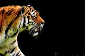 animal rights, animal rights activists, animal welfare, tiger, circus
